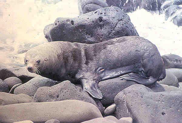 Guadeloupe fur seal (Guadalupe Callorhinchus Ursinus L.)