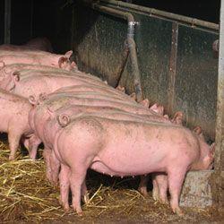Эффективный откорм свиней в домашних условиях, виды и особенности откормов