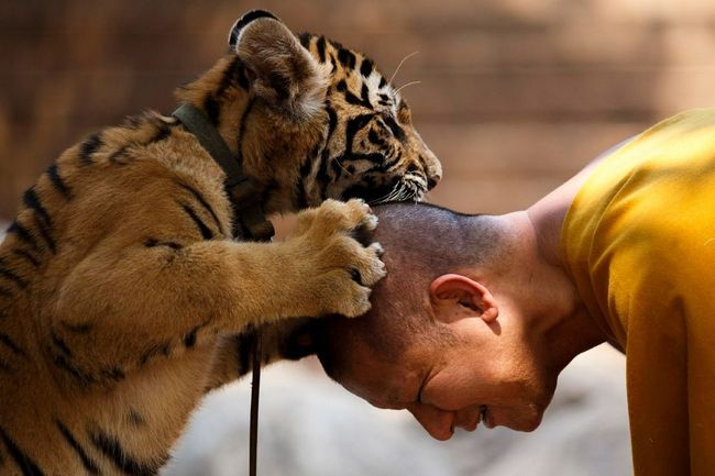Izlet u Tiger Temple Tajland