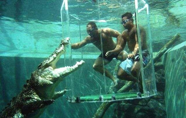Slana voda krokodila (slana voda krokodila), koji u Australiji se zove Salties, su najveći predstavnici svoje vrste na planeti.