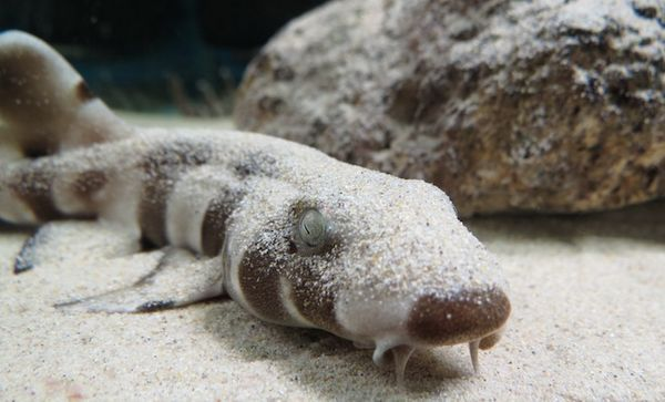 Коричневополосая кошачья акула (здесь и ниже фото Ryan M. Kempster / University of Western Australia).