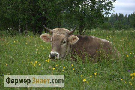 Эндометрит у коров: на заметку фермеру