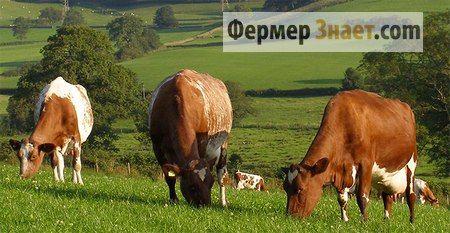 muznih krava