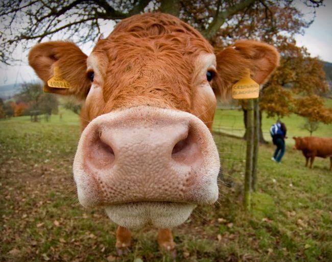 endometrita la vacile