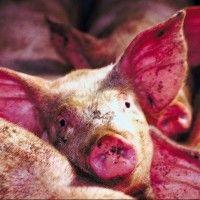 Энзоотическая пневмония свиней