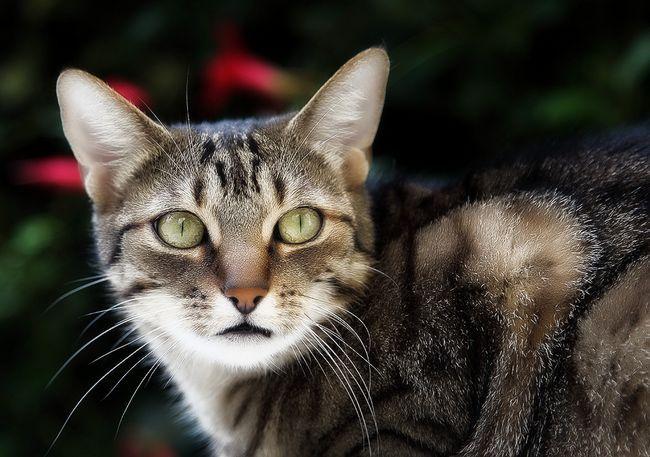 Eozinofilni granulom kod mačaka