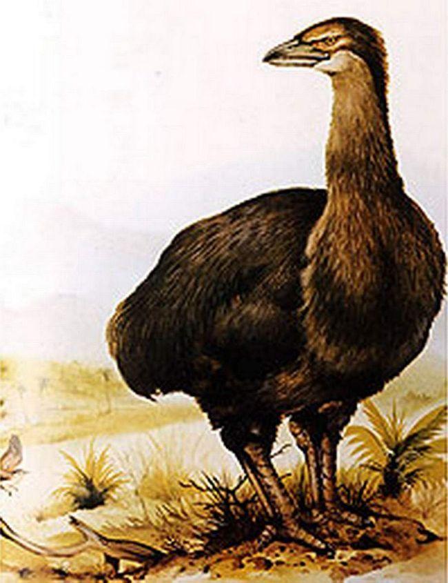 Aepyornis (Aepyornithidae).