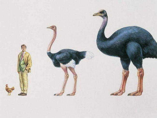 Aepyornis byly obrovské ptáky. jejich velikost těla překračuje není, že osoba, a to i pštrosa.