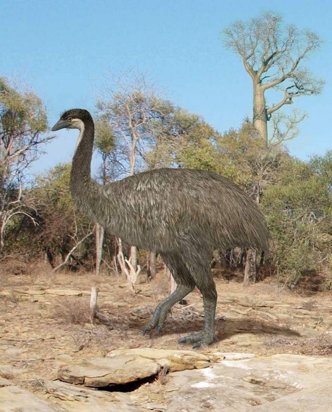 Chybně křídla zabránila Aepyornis možnost proletět, ale silné nohy pomáhal běžet rychle a chytit kořist.