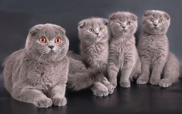 Этика заводчика — ваш ориентир в выборе породистого котенка