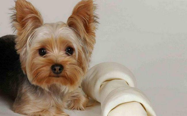 Yorkie - glamurozna psa.