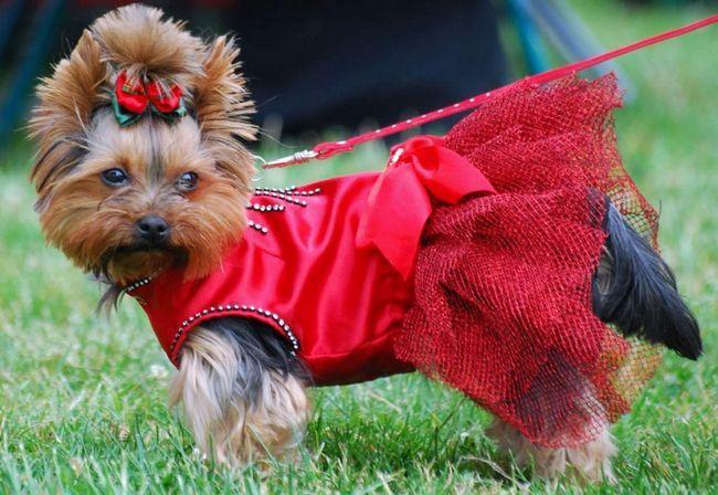 York je vrlo glamurozna odjeća za pse.