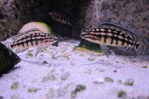 Julidochromis druhy akvarijních