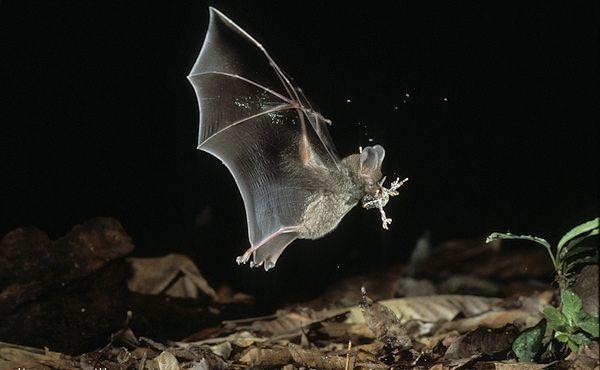 Bahromchatoguby list nosa šišmiša, uhvatio žabu
