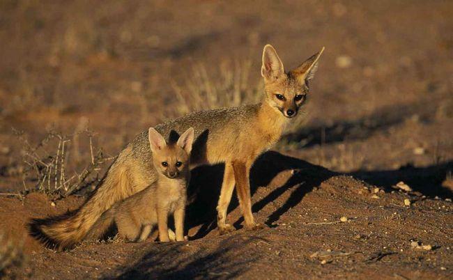 Южноафриканская (серебристая) лисица