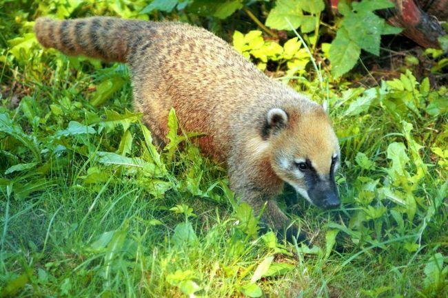 В природе они живут 7-8 лет, а в неволе максимальная продолжительность жизни достигла 17,8 лет.
