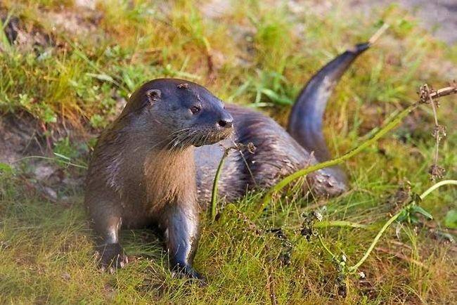 Lišavanje vidre staništa i lov za ove životinje dovelo je do nestanka kritičnih vrsta.