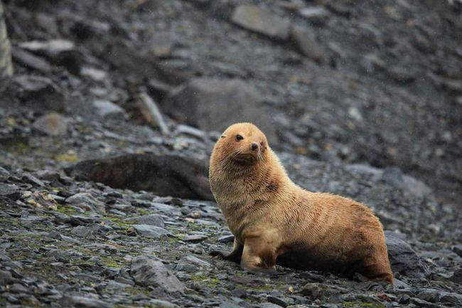 Южные морские котики приспособились к холодному климату.