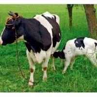 Качество молозива и здоровье теленка