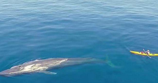 Kajakaš preplivao do plavog kita.