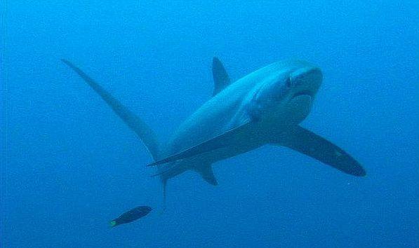 Акула-лисица и губан