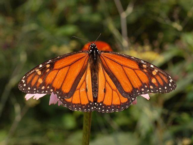Во время миграции бабочки-монархи ориентируются по магнитным полям