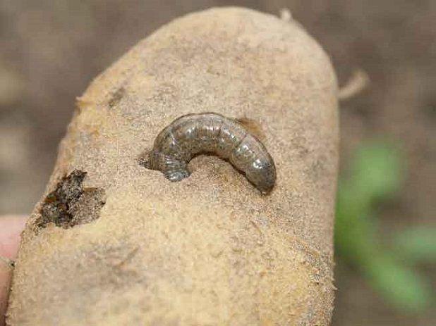Гусеница озимой совки
