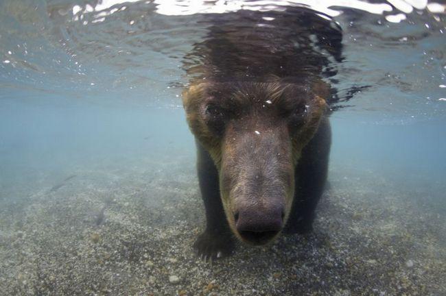 Medvěd hnědý lov lososů