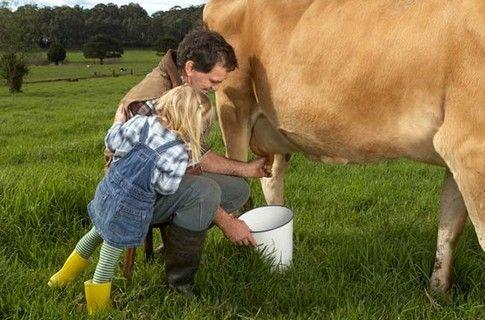 kako da pomuze kravu