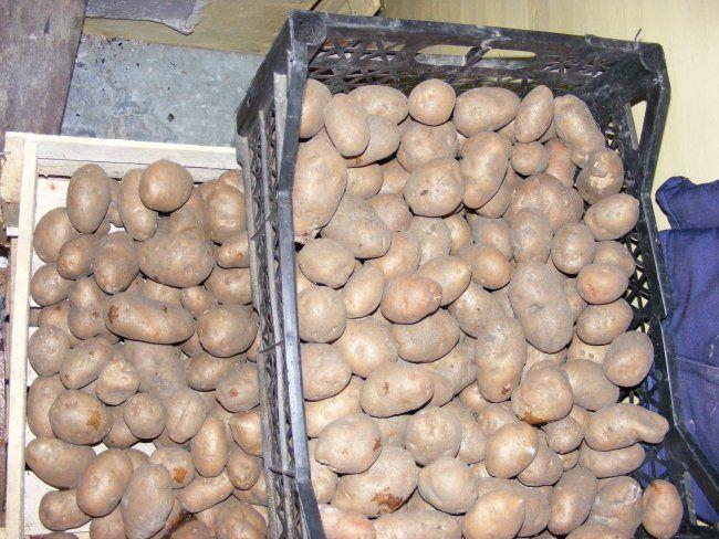 uslovija hranenija kartofelja