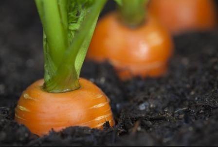 Cum se păstrează morcovi pentru iarna