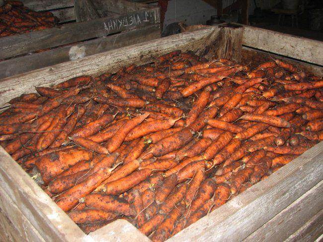 kak hranit` morkov` v podvale