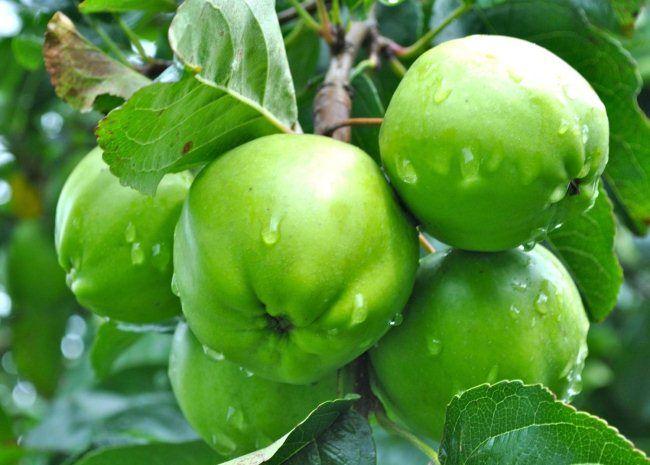 Kak hranit` jabloki na zimu