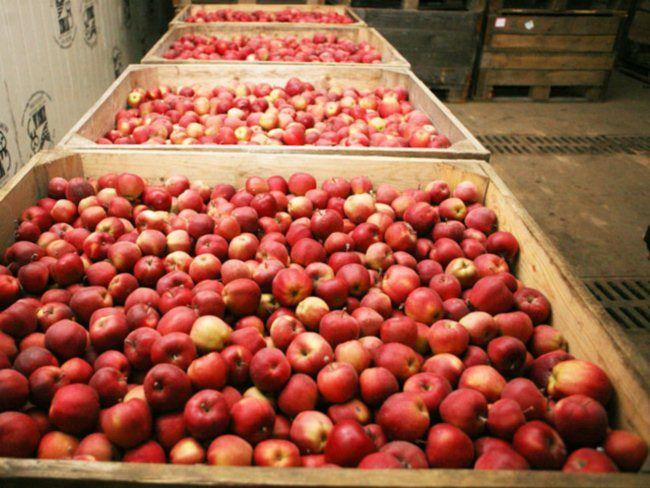 uslovija hranenija jablok