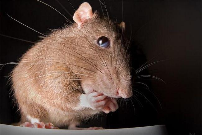 Как и чем кормить домашнюю крысу