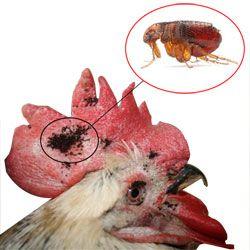 Как избавиться от куриных блох, симптомы и вред от заболевания
