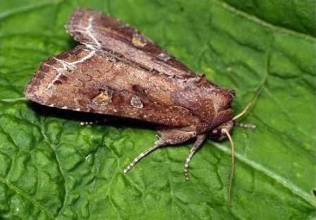 kapusta Moth