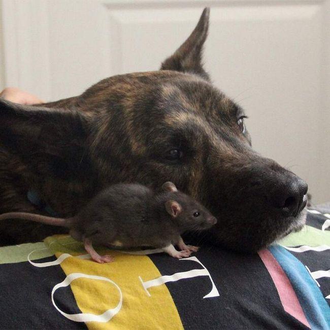Prijateljstvo štakora i pasa.