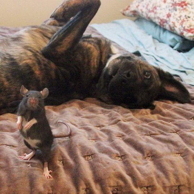 Riff Rat voli svoju
