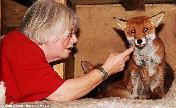 `` Najviše izbalovannaya`` lisica porodice naselili u Englez