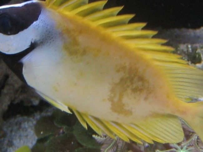 Tretman ribe u akvarij soli.