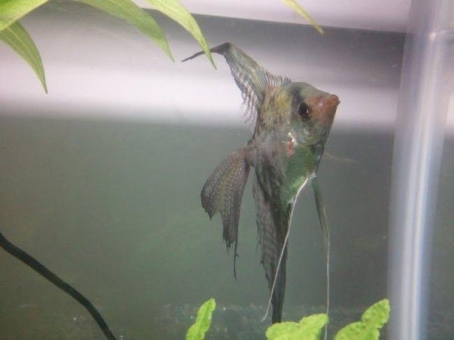 Fin rot u angelfish.