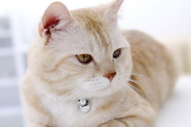Как лечить ушной клещ у кошек, и симптомы ушного клеща у кошек
