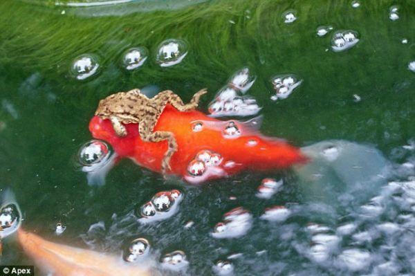 Как лягушка каталась на золотой рыбке