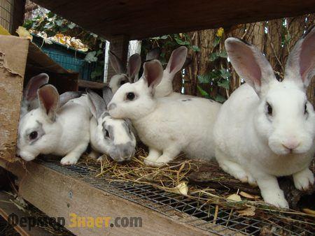 Как да започнете развъждане зайци - особено заекът