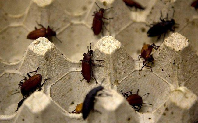 Master class na pripremi insekata