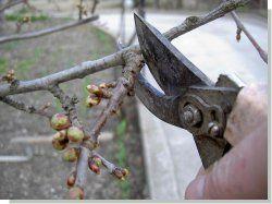 Kako smanjiti trešnje