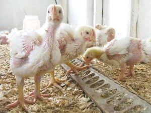 Цыплята возле кормушки с кормом