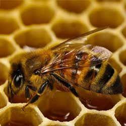 Как пчелы строят соты и делают мед?