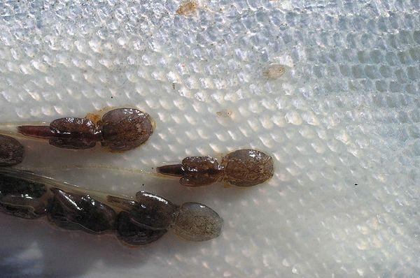 Лососёвая вошь на коже рыбы